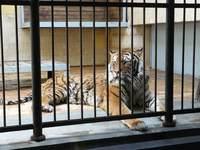 Амурски тигър